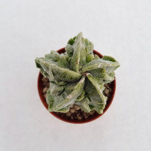 Astrophytum myriostigma fukuryu vaso 5,5 11A