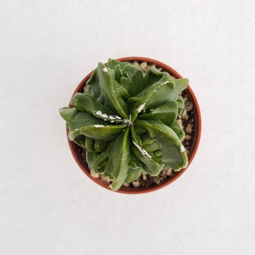 Astrophytum myriostigma fukuryu nudum vaso 5,5 16A