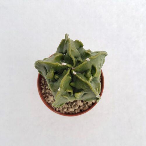 Astrophytum myriostigma fukuryu vaso 5,5 18A