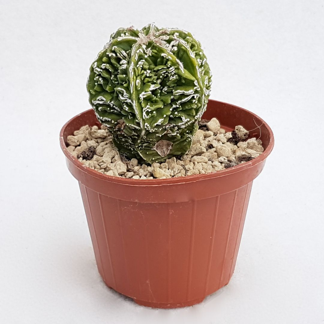 Astrophytum myriostigma hanakago vaso 10,5 23B
