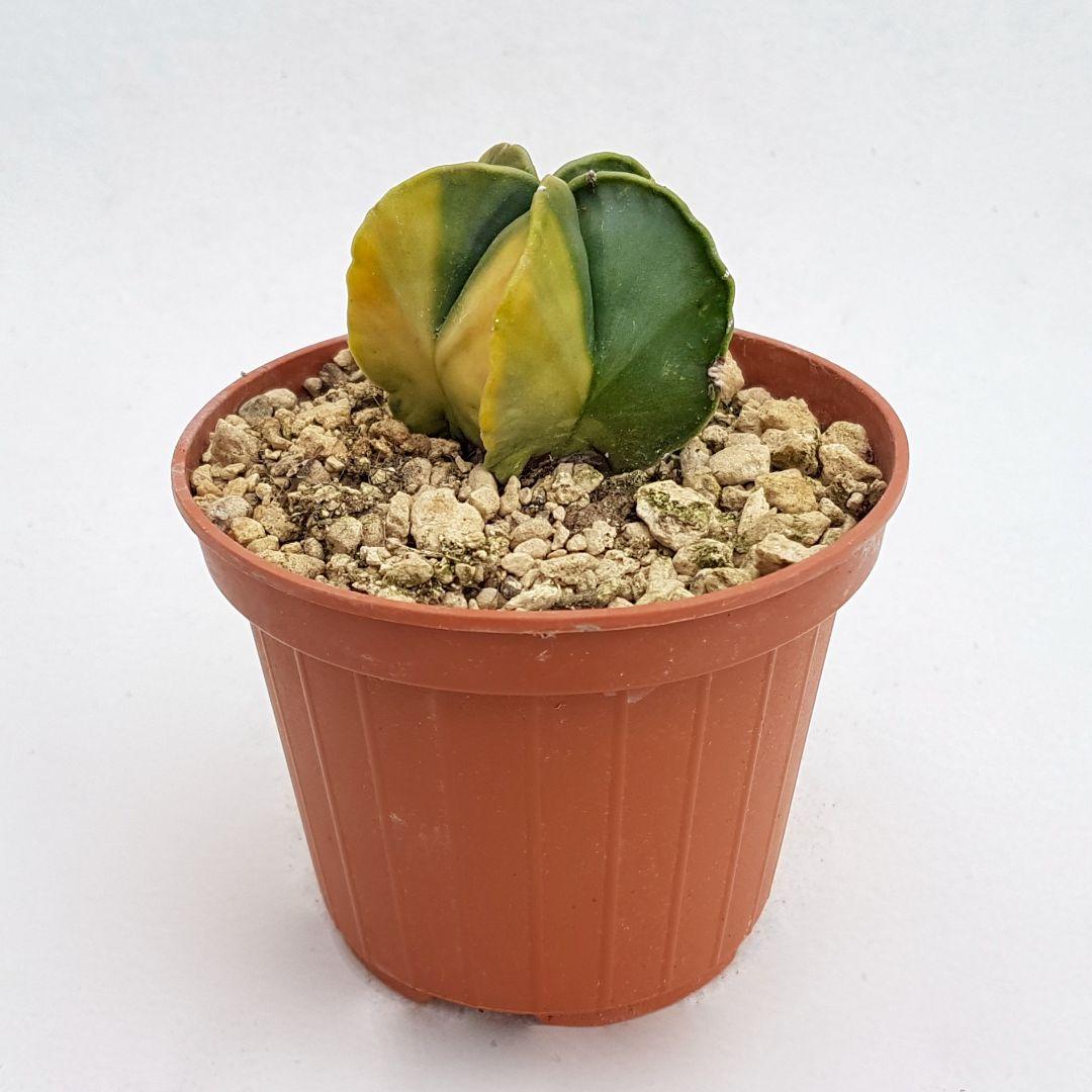 Astrophytum myriostigma kikko nudum variegato vaso 10,5 25B