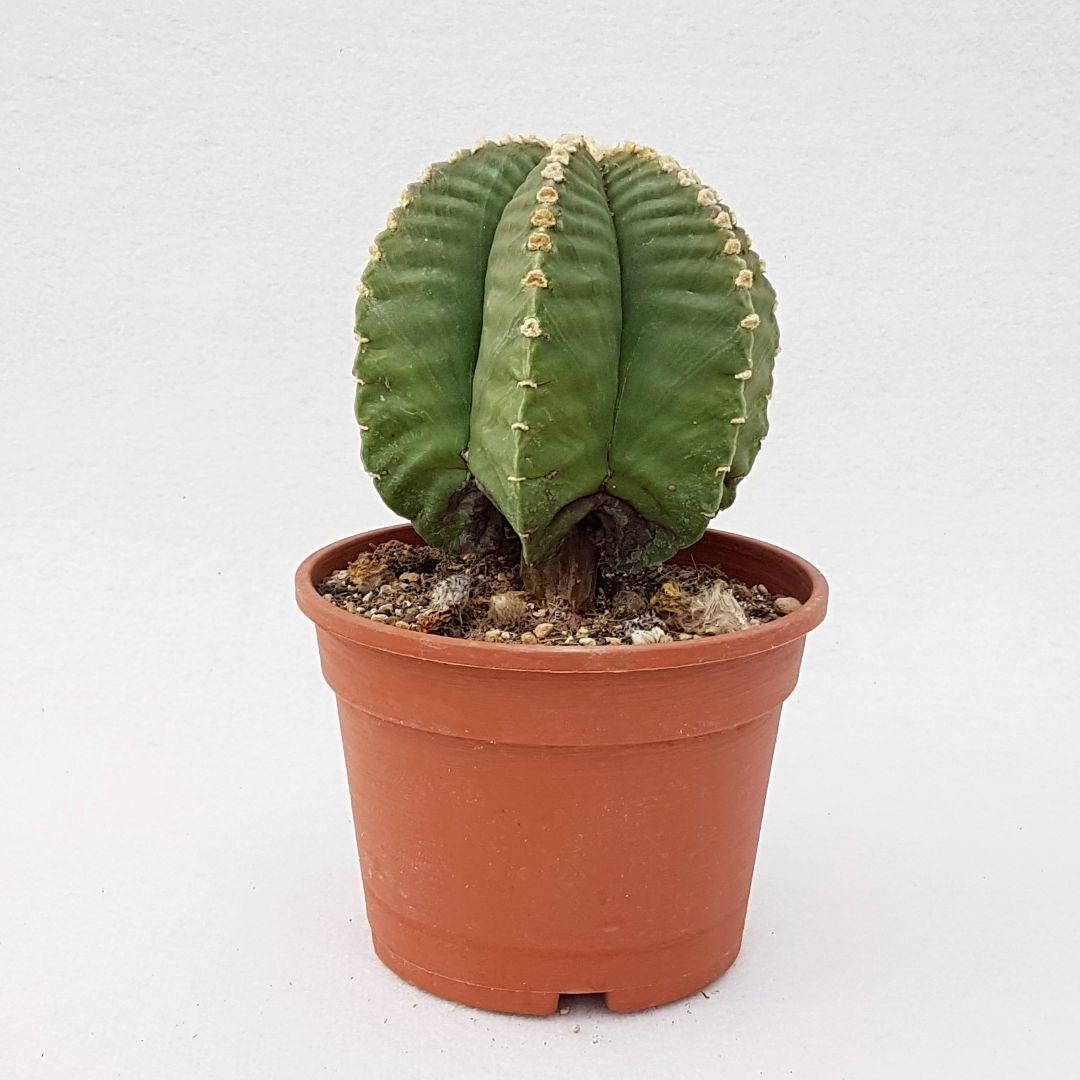Astrophytum myriostigma nudum x kikko vaso 16 28C