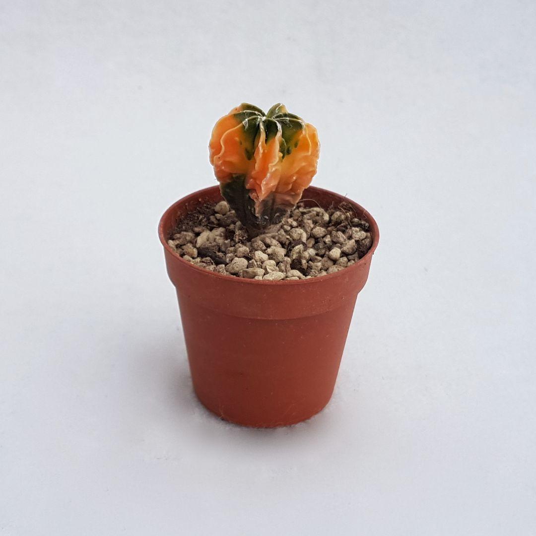 Astrophytum myriostigma v. koh-yo vaso 5.5 24A