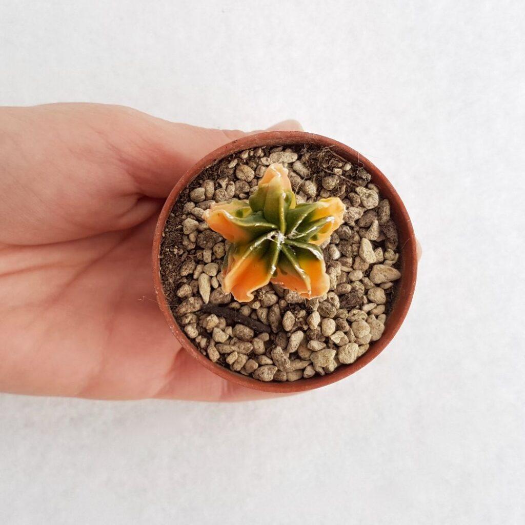 Astrophytum myriostigma v. koh-yo vaso 5.5