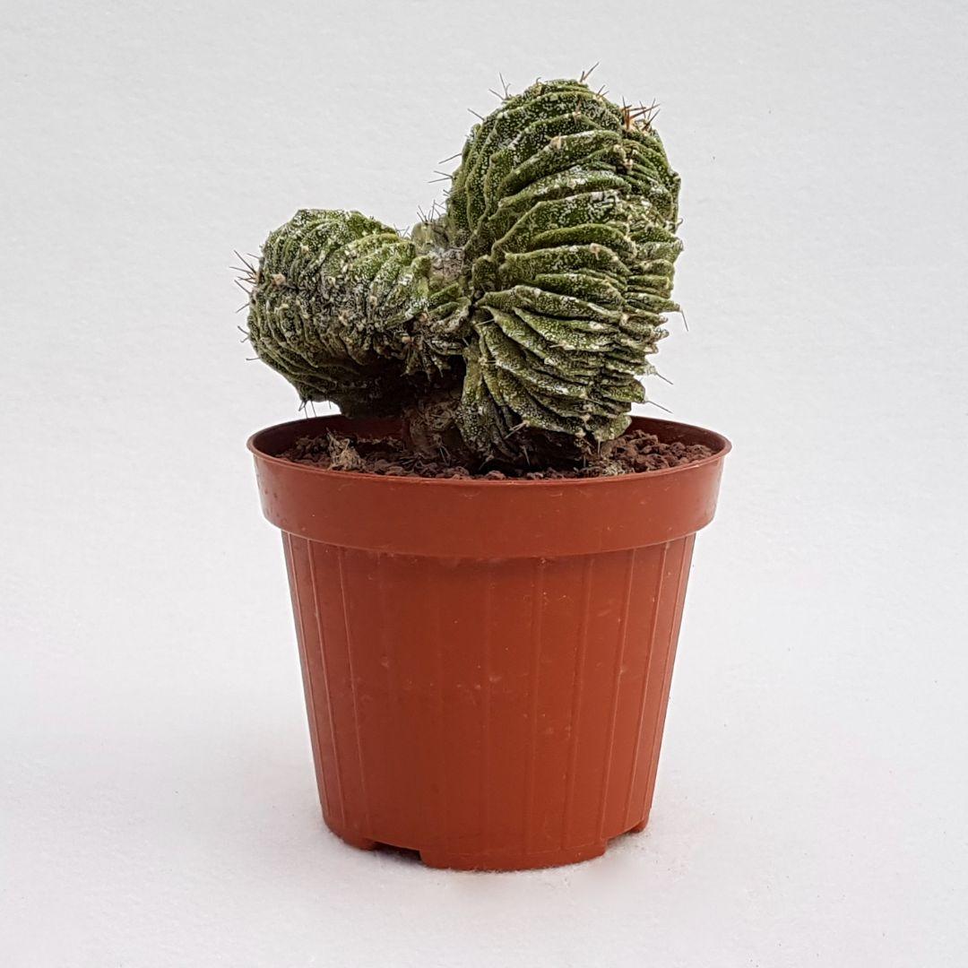 Astrophytum myriostigma ornatum hakuun crestato vaso 12 24C