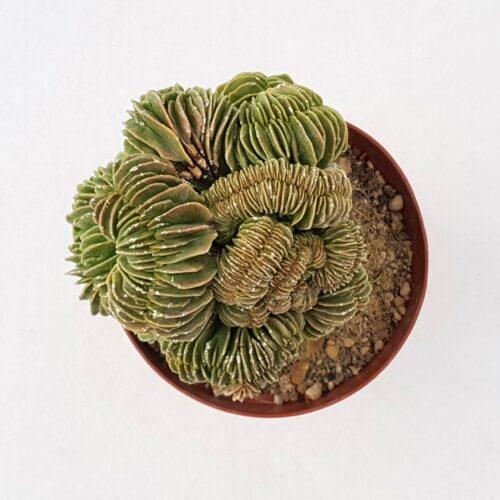 Astrophytum ornatum fukuryu crestato vaso 12 07C
