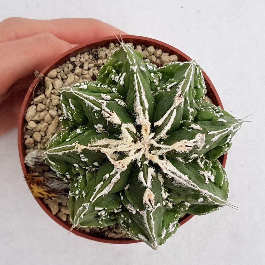 Astrophytum ornatum hannya hybrid vaso 10,5 11B
