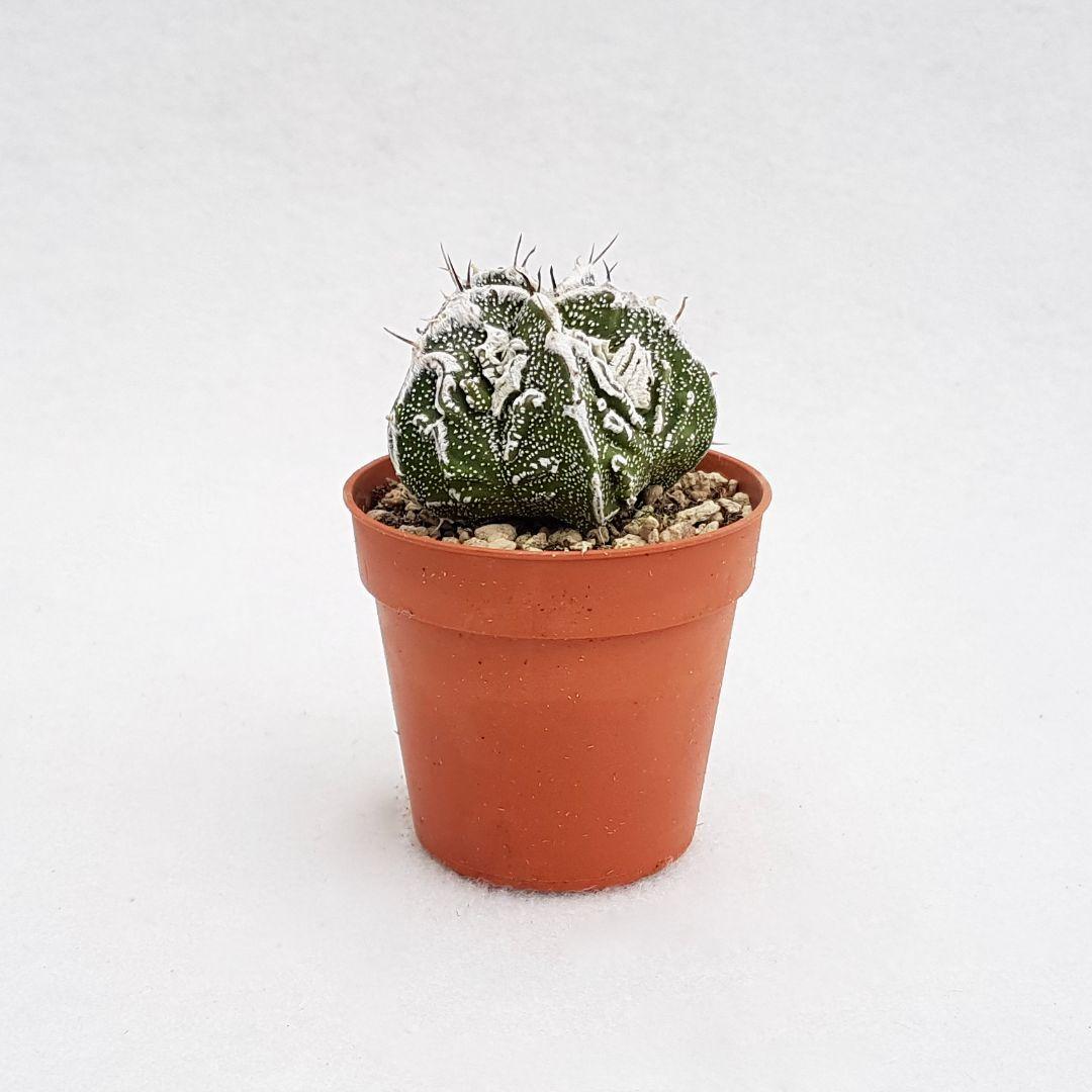 Astrophytum ornatum hannya hybrid vaso 5,5 04A