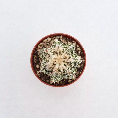 Astrophytum ornatum hannya hybrid vaso 5,5 05A