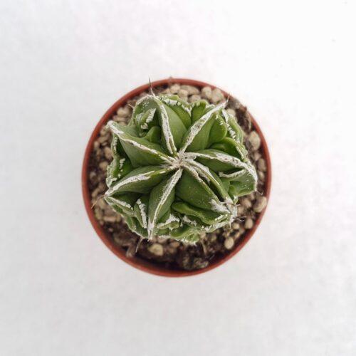 Astrophytum ornatum hannya hybrid vaso 5,5 13A