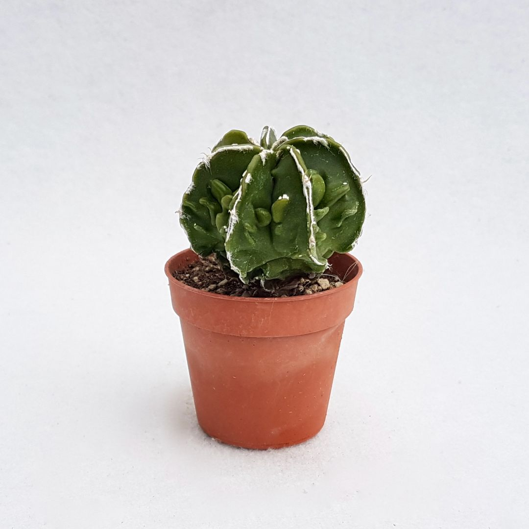 Astrophytum ornatum hannya hybrid vaso 5,5 14A
