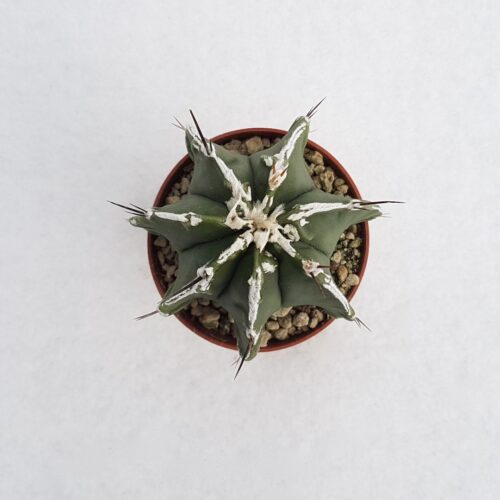 Astrophytum ornatum hannya hybrid vaso 5,5 21A