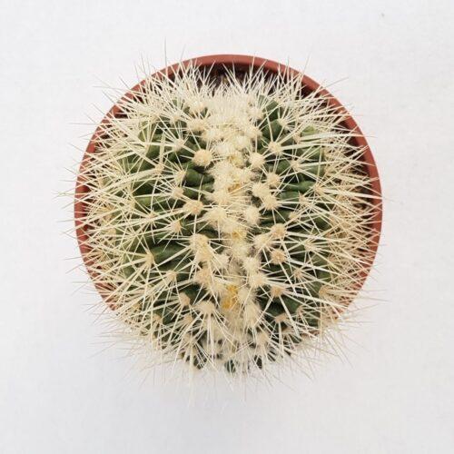 Echinocactus grusonii alba crestato vaso 16 04C