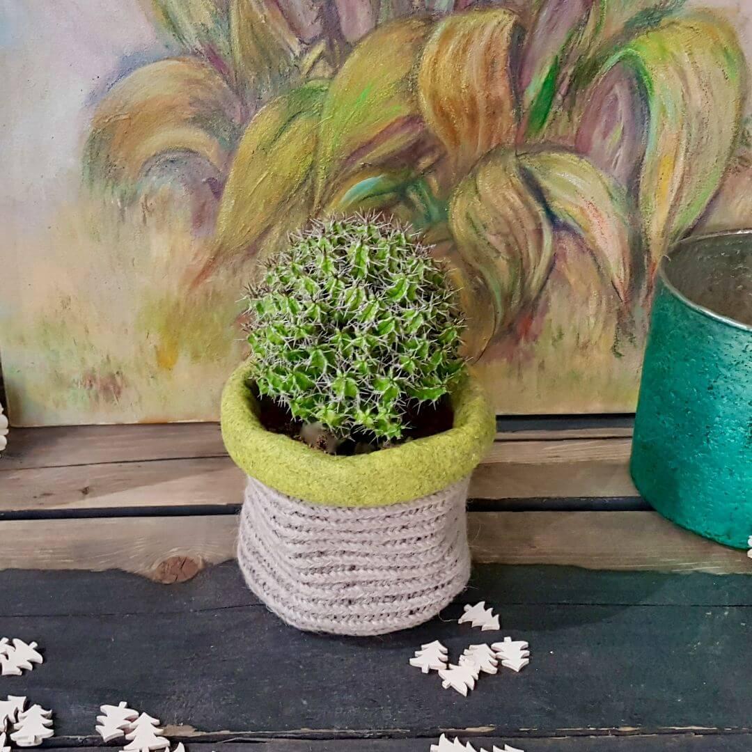 Euphorbia mitriformis natalizia