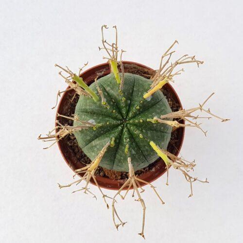Euphorbia valida vaso 10,5 15C