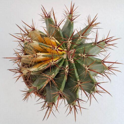 Ferocactus sp variegato vaso 20 21C