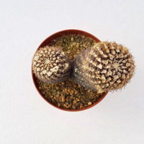 Thelocephala aerocarpa vaso 12 03C