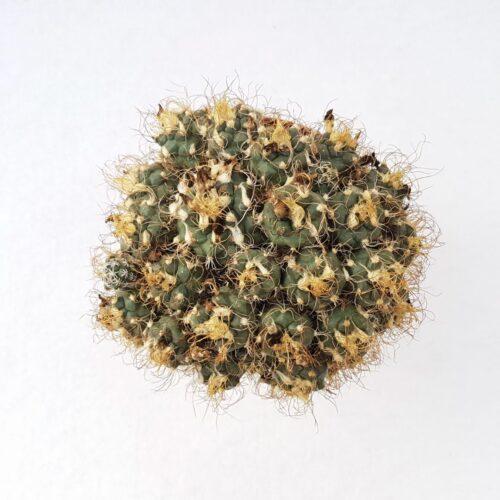 Turbinicarpus pseudomacrochele 02C vaso 12
