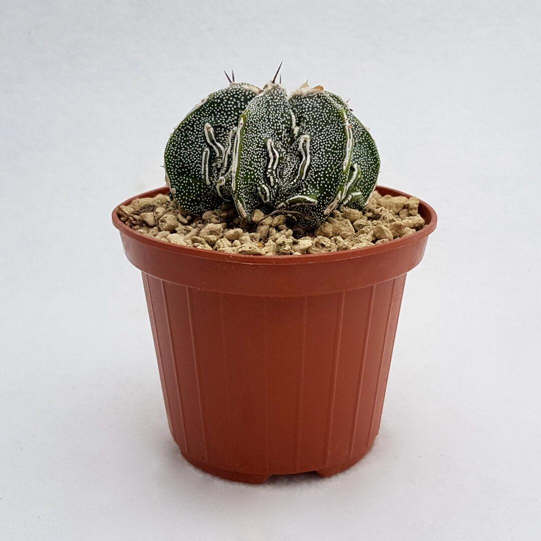 Astrophytum fukuryu haku jo 35B