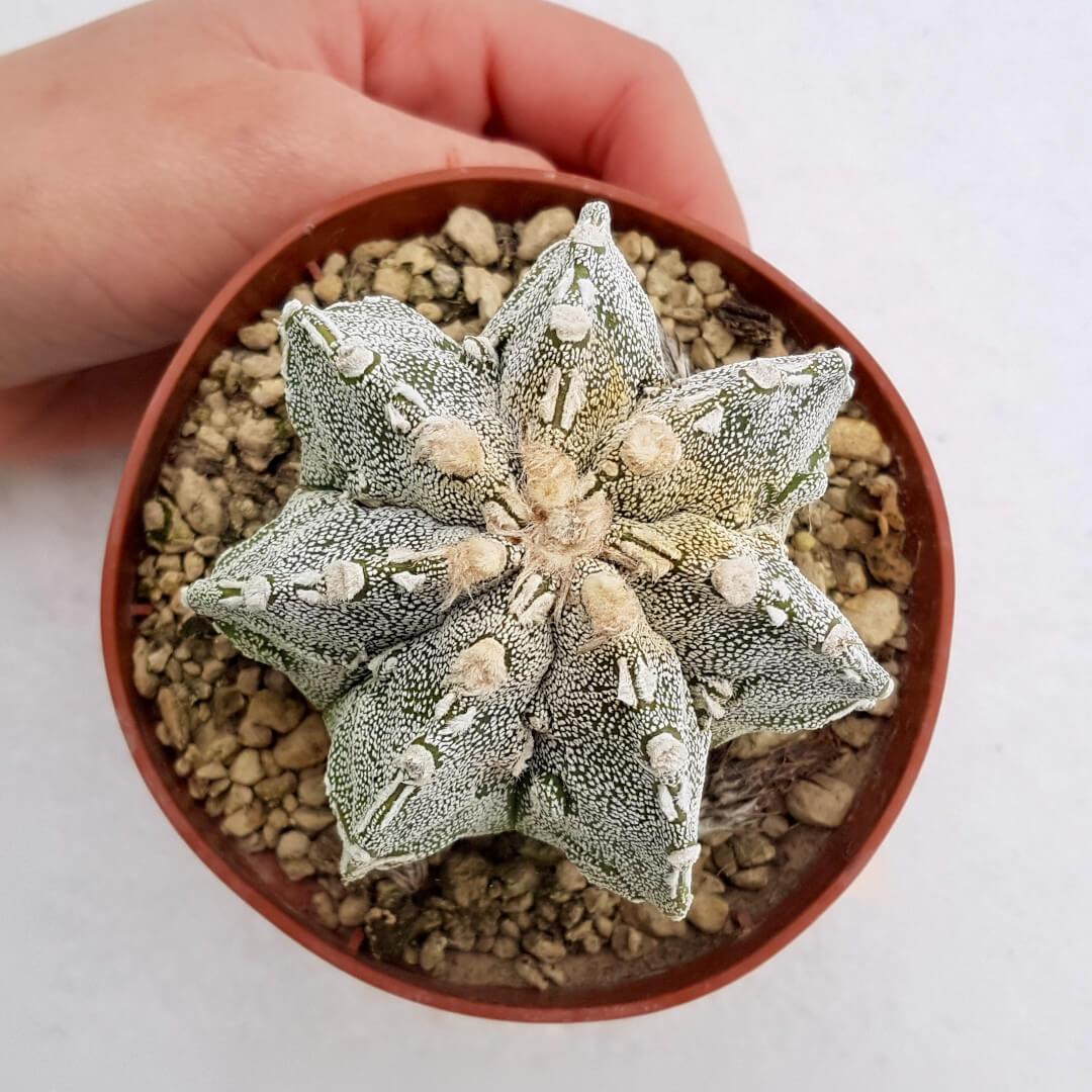 Astrophytum fukuryu haku jo 44B
