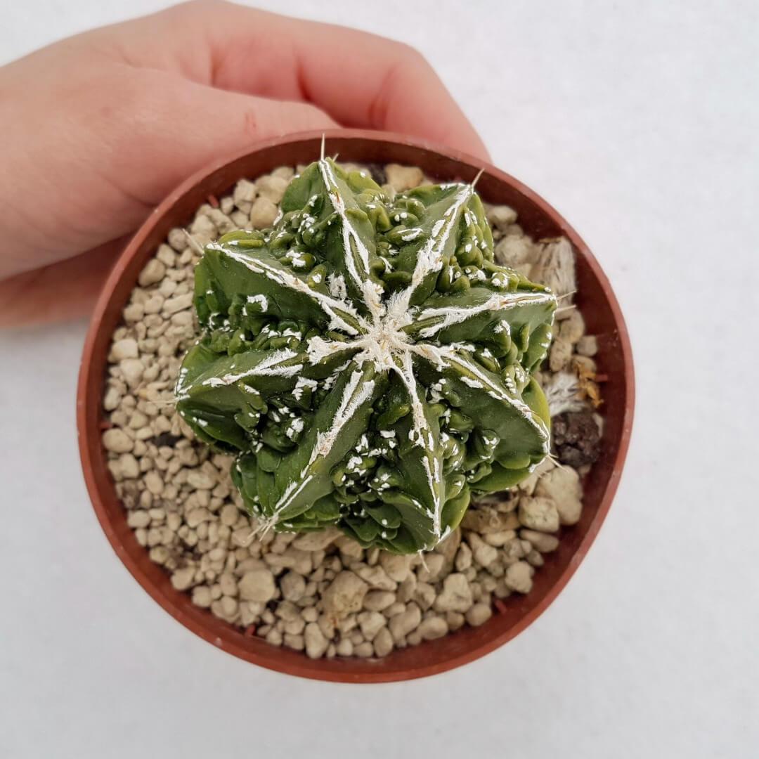 Astrophytum myriostigma hanakago 41B