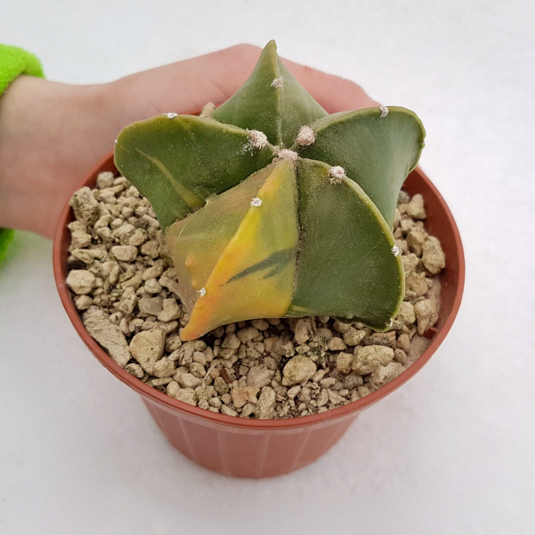 Astrophytum myriostigma nudum variegato 46B