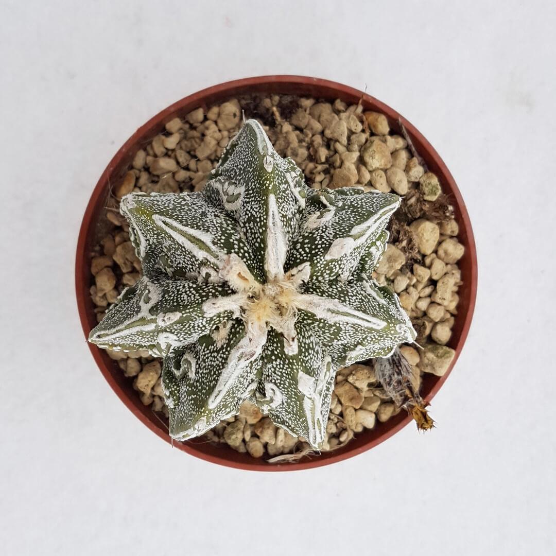 Astrophytum ornatum hannya hybrid 33B