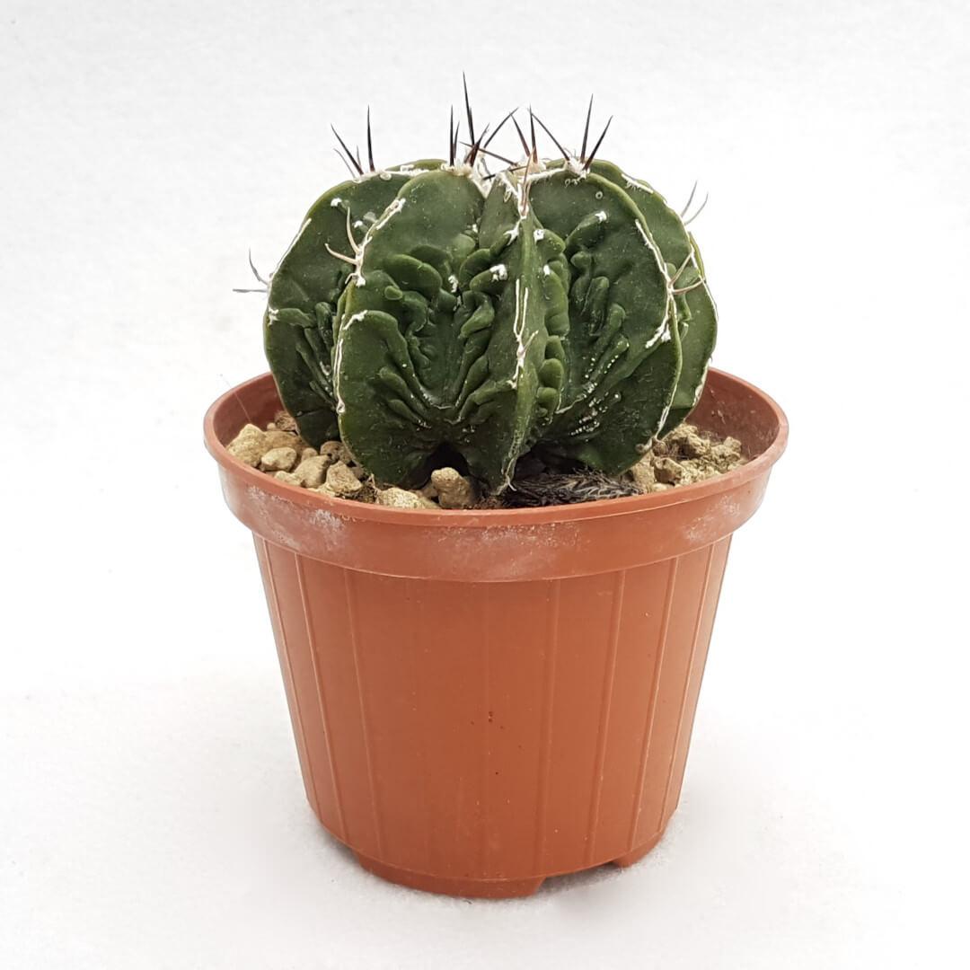 Astrophytum ornatum hannya hybrid 38B