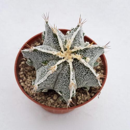 Astrophytum ornatum hannya hybrid 39B