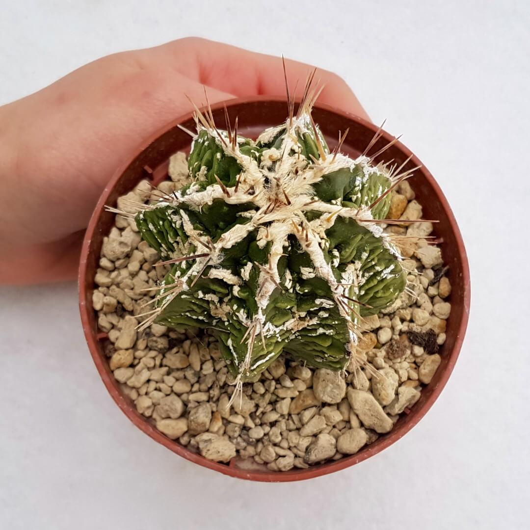 Astrophytum ornatum hannya hybrid 40B