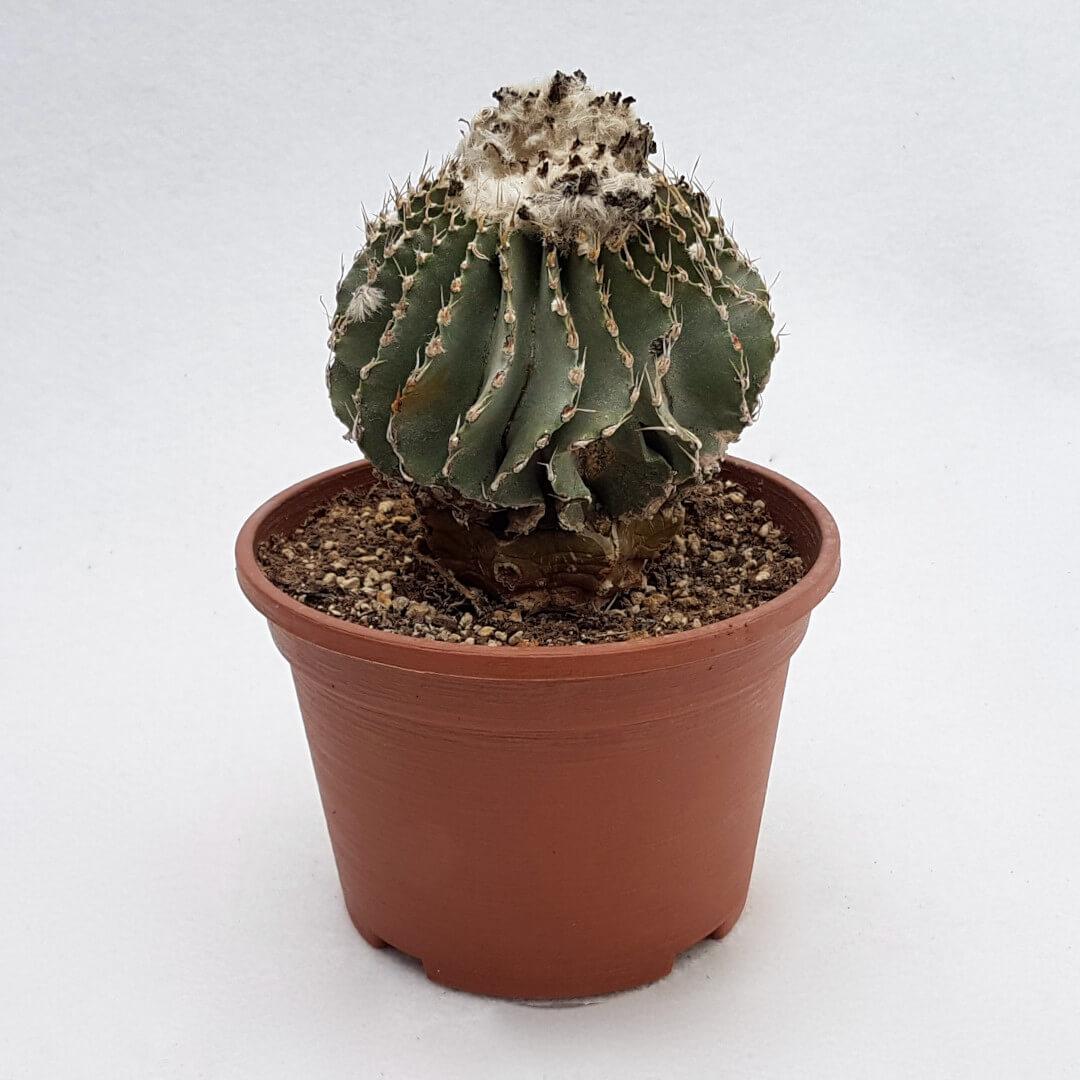 Geohintonia mexicana vaso 14 34C