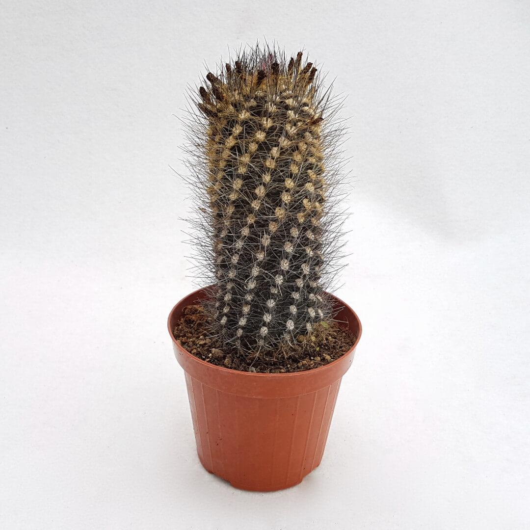 Neoporteria villosa 35C