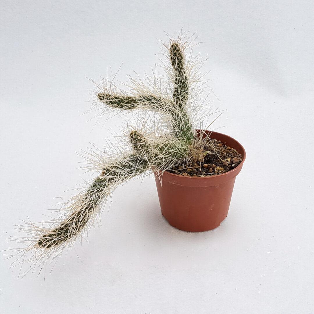Tephrocactus weberi 31C