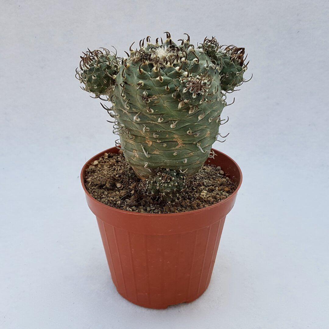 Turbinicarpus jauernigii 59C