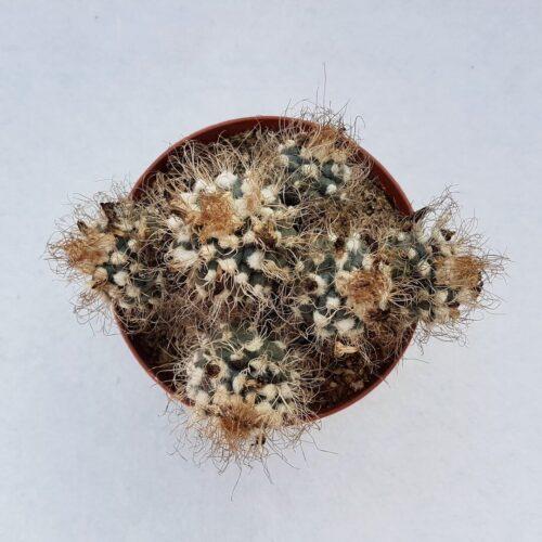 Turbinicarpus pseudomacrochele 62C