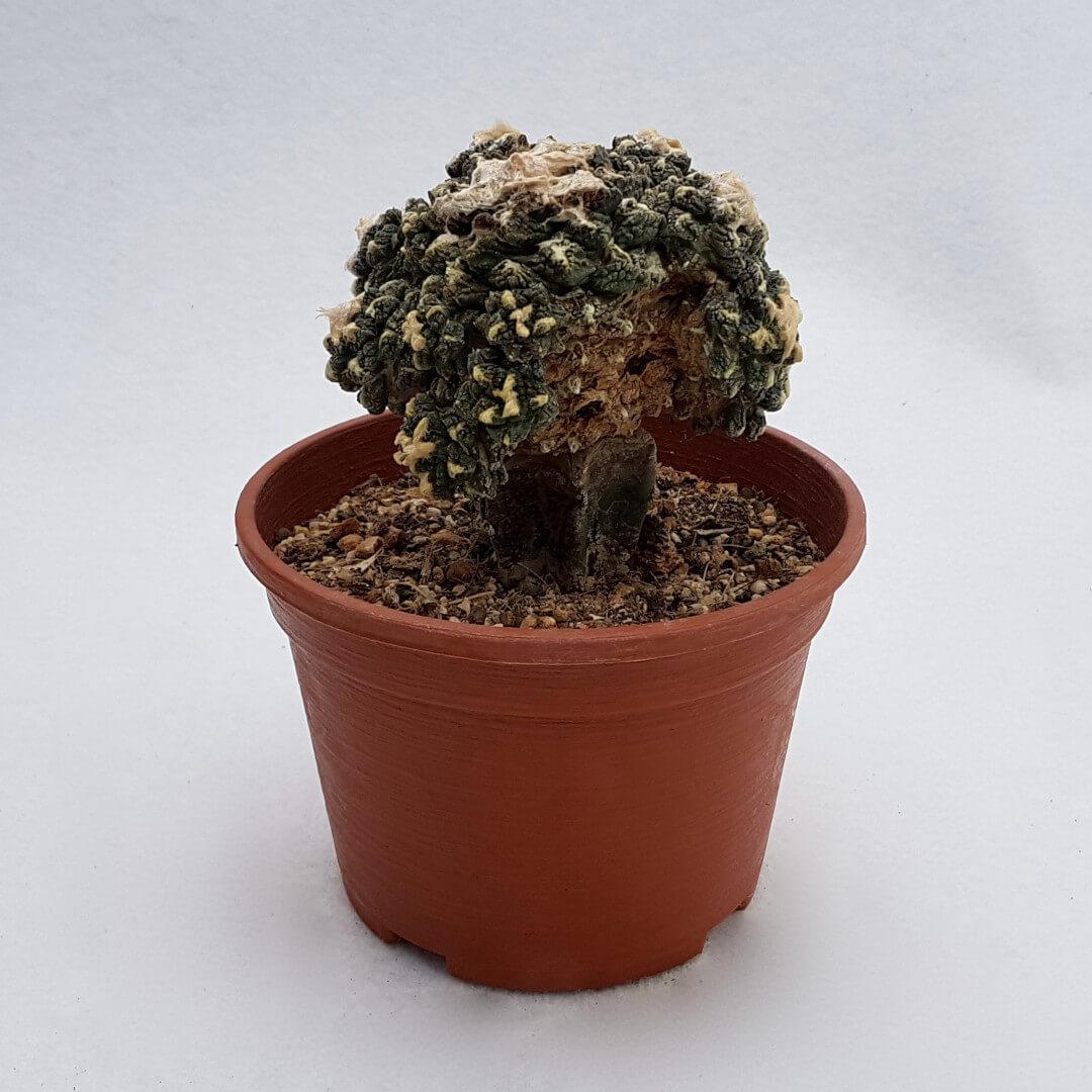 Ariocarpus fissuratus hybrid 38C