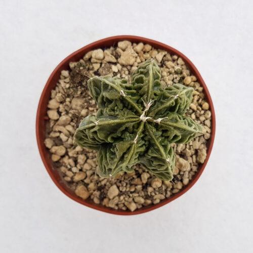 Astrophytum myriostigma hanakago 34B