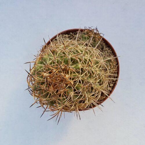 Copiapoa coquimbana subsp. andina ''big157''
