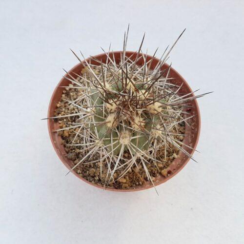 Copiapoa coquimbana var. pseudocoquimbana 'vmt22'