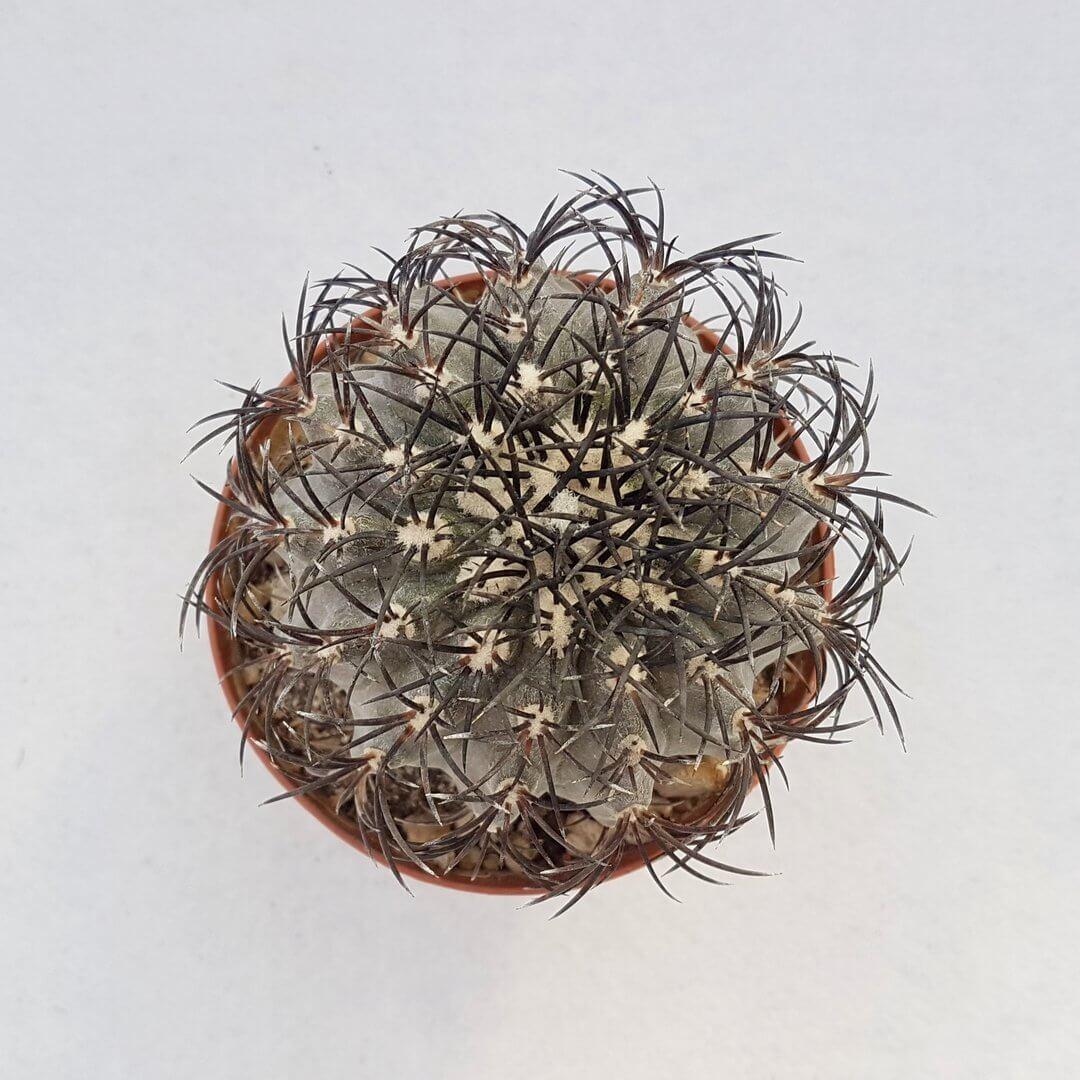 copiapoa sp. nova coralensis ignasi big 185 vaso 10,5 49c-1