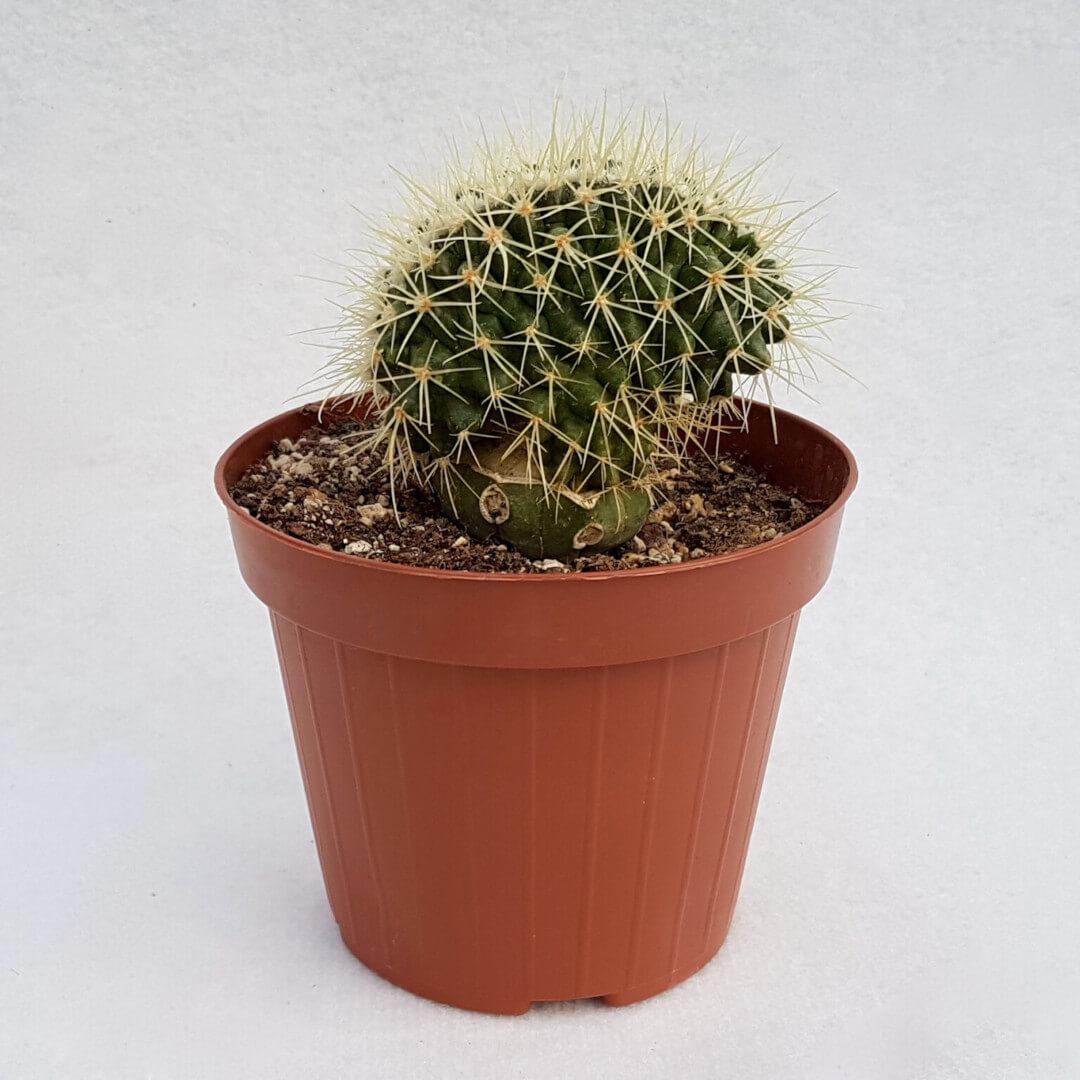 Echinocactus grusonii setispinus crestato 33C