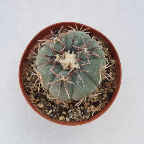 Echinocactus horizonthalonius 65C