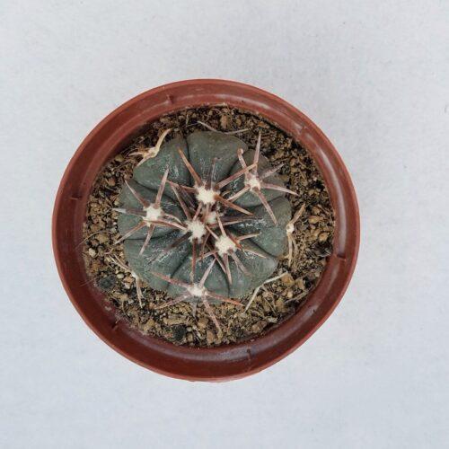 Echinocactus horizonthalonius 63C