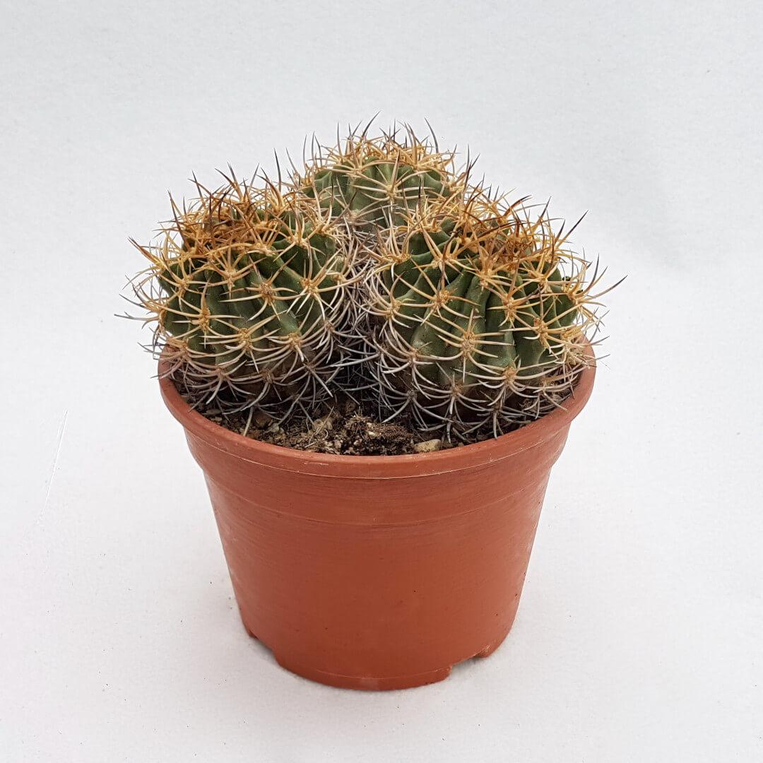 Eriosyce ceratistes 36C