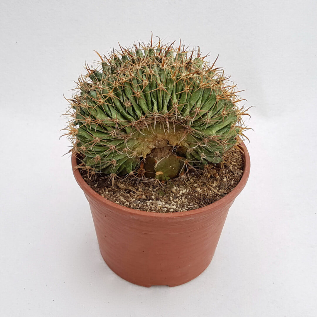 Ferocactus wislizeni crestato 29C