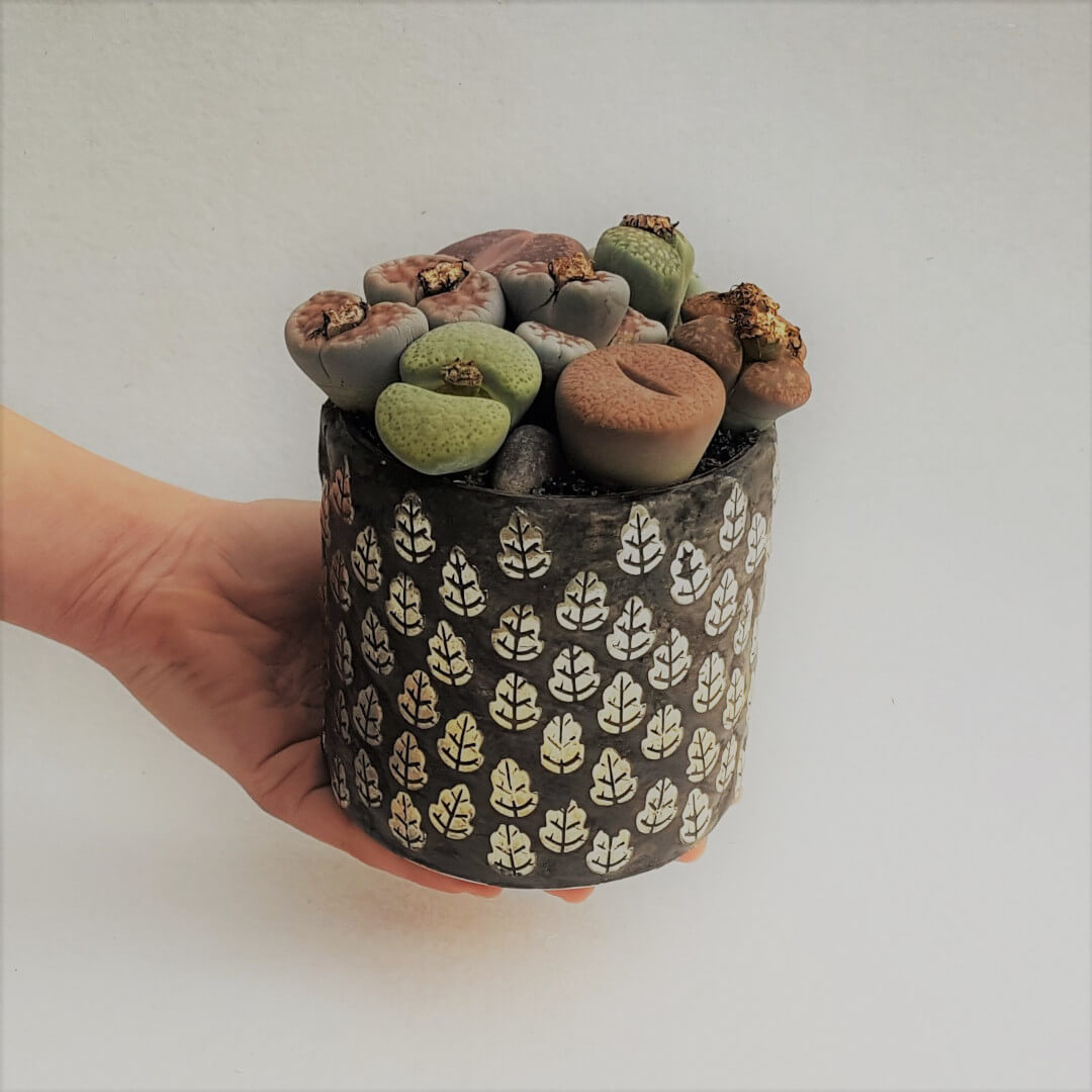 Lithops Bijoux Beauty