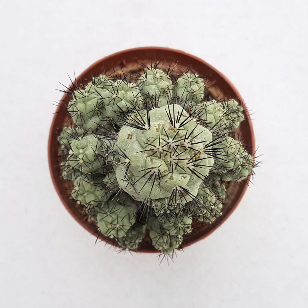 Ortegocactus macdougallii 39C
