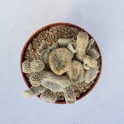 Austrocylindropuntia 'Puna' clavarioides cv albispina