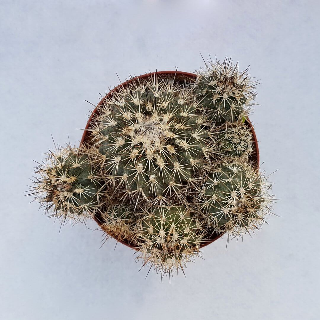 Turbinicarpus horripilus 55C