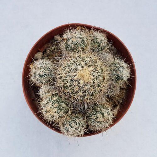 turbinicarpus horripilus vaso 12 57c-1